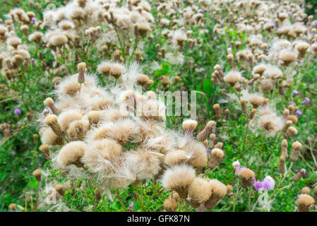 Creeping Thistle (Cirsium arvense) plant growing in Summer in the UK. - Stock Photo