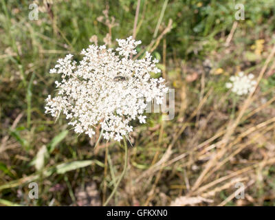 Wild carrot, Daucas coarota. Aka Queen Anne's lace, Bishop's lace. With small fly. - Stock Photo