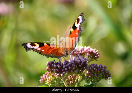 Butterfiles butterfly - Stock Photo