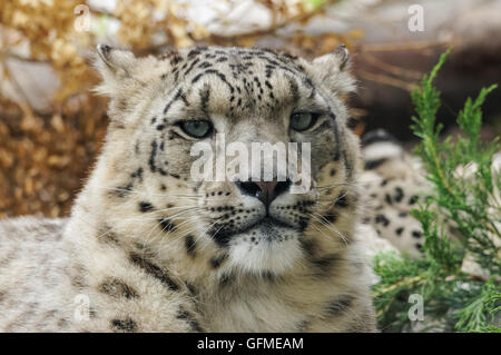 The snow leopard at Zoo, Plock Poland - Stock Photo