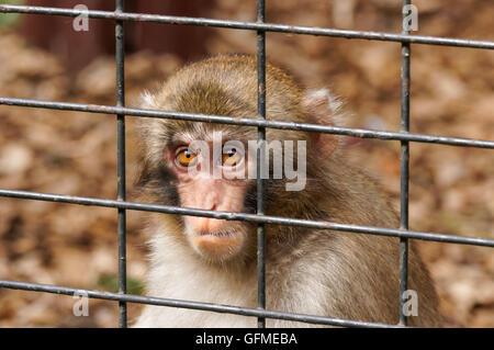 Japanese macaques at zoo - Stock Photo