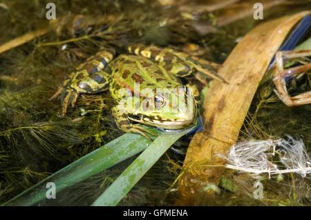 The pool frog (Pelophylax lessonae) at Rainham Marshes Nature Reserve in London England United Kingdom UK - Stock Photo