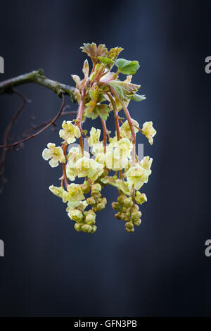Flowering currant twig. The currant Bush in early spring. - Stock Photo
