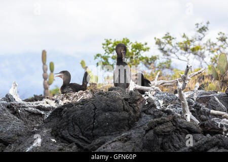 Flightless cormorants (Phalacrocorax harrisi) nesting on lava at Moreno Point, Isabela Island, Galapagos Islands, - Stock Photo