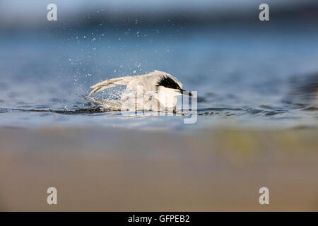 Adult Sandwich Tern taking a bath in a shallow water / flapping wings and splashing water - Stock Photo