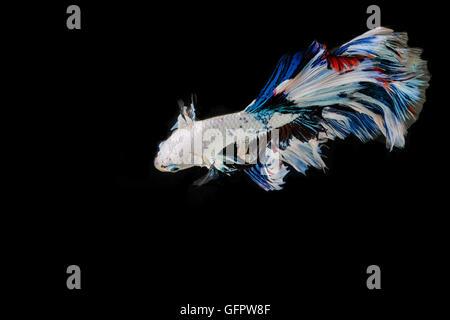 Betta fish, siamese fighting fish movement on black blackground - Stock Photo