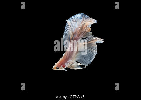 moving moment of white siamese fighting fish isolated on black background - Stock Photo