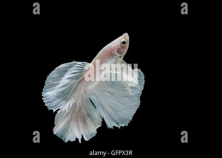 Moment of betta fish, siamese fighting fish isolated on black background - Stock Photo