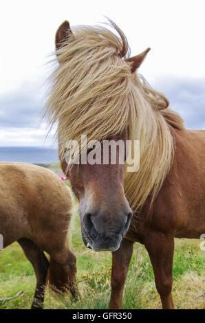 Icelandic horse with long mane close-up. Iceland - Stock Photo