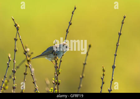 Willow warbler sitting on a branch - Stock Photo