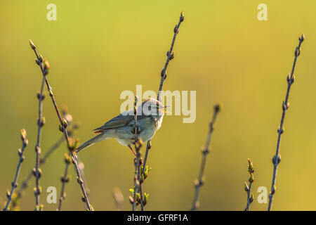 Willow warbler singing from a branch - Stock Photo