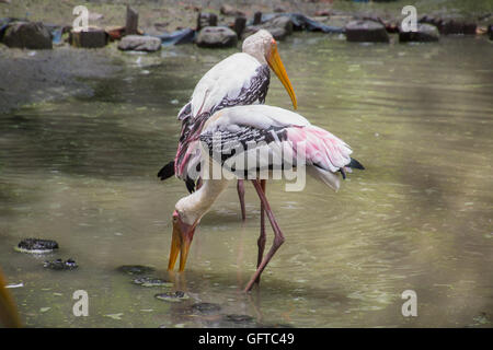 Painted Stork birds (Mycteria leucocephala) look for fish in a swamp at a bird sanctuary in India - Stock Photo