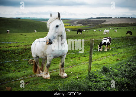 A group of horses grazing on the grass on the open chalk downlands - Stock Photo