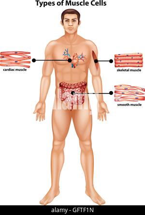 Diagram showing types of muscle cells illustration - Stock Photo