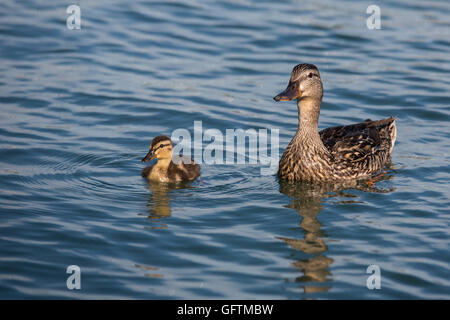 Windsor, Ontario, Canada - A female mallard (Anas platyrhynchos) and her duckling on the Detroit River. - Stock Photo