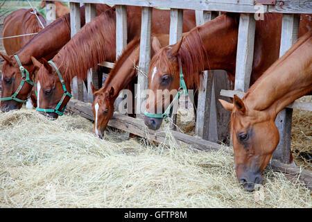 Anglo-arabian chestnut gidran horses eating hay at horse ranch summertime - Stock Photo