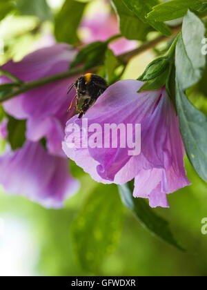 Bumble bee sitting on purple hibiscus blossom - Stock Photo