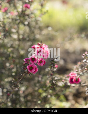 Early morning sunlight streaming on pink leptospermum flowers and dewdrops - Stock Photo