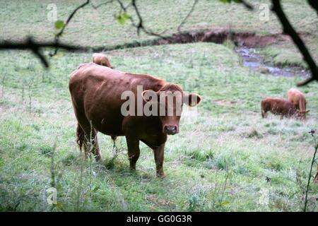 cow in a field - Stock Photo