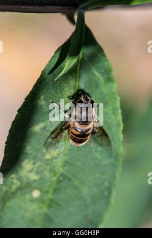 A common drone fly (Eristalis tenax) on the leaf of a Buddleia davidii - Stock Photo