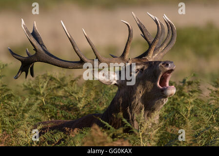 During the rutting season Red deer stags make a loud roaring noise (belling) - Stock Photo