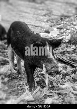 Pork eating nylon in a garbage dump in black and white - Stock Photo