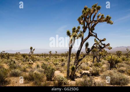 Joshua Trees, Mojave National Preserve, California, USA - Stock Photo