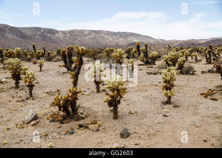 Cholla Cactus Garden in Joshua Tree National Park, California, USA - Stock Photo