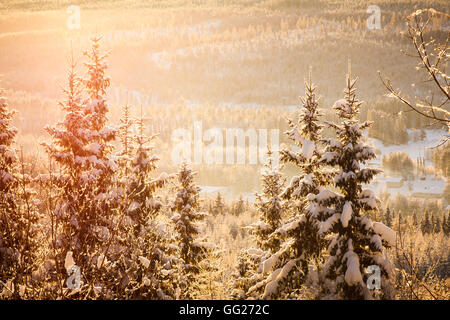 The low arctic sun creates a warm golden glow as it rises above the landscape of conifer trees - Stock Photo