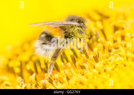 Bees in the garden , in Voorschoten Holland - Stock Photo