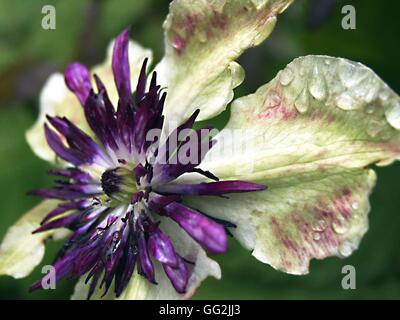 Clematis florida var. Sieboldii with raindrops. Climber with single creamy white flowers with a domed boss of purple - Stock Photo