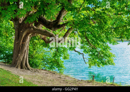 Horse chestnut tree on shore of Lake Bled in Slovenia - Stock Photo
