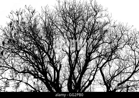 Dead tree silhouette without leafs isolated on white - Stock Photo