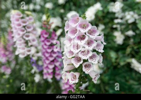 Digitalis 'Dalmatian Purple' and 'Dalmatian white' Foxglove flowers provide a splurge of colour. - Stock Photo