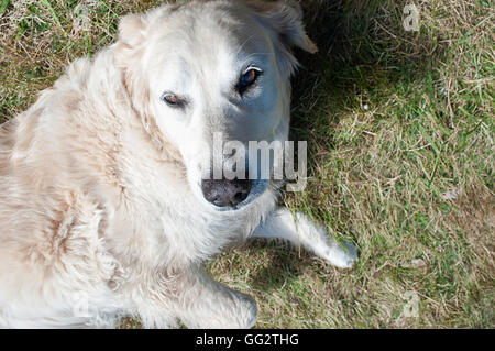 A a five year old Golden Retriever laying down on the grass. - Stock Photo