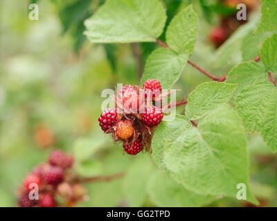 Detail of Japanese Wineberries (Rubus phoenicolasius) in a garden. - Stock Photo