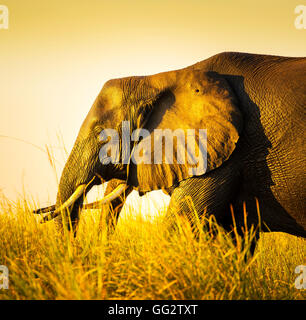 Elephant walking through long grass on the plains of Africa at sunset - Stock Photo
