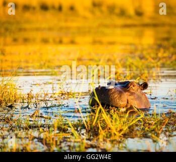 Hippopotamus or hippo in the Chobe River in Chobe National Park, Botswana, Africa - Stock Photo