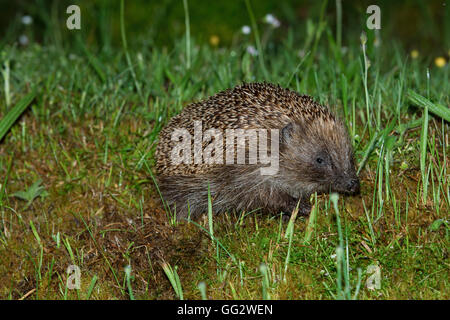 A wild Hedgehog snuffles in the grass for food, Ardnamurchan peninsula, Scotland, uk - Stock Photo