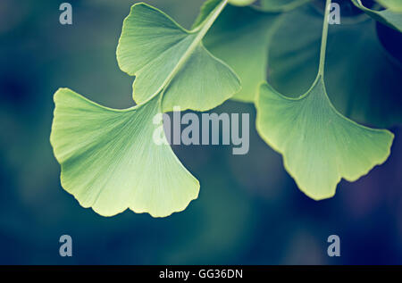 Ginko Biloba green leaves growing at Kew Botanical Gardens in London - Stock Photo