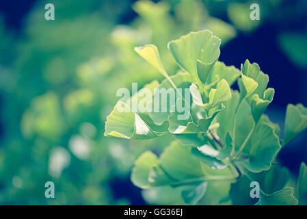 Ginko Biloba green leaves tree branch growing at Kew Botanical Gardens in London - Stock Photo