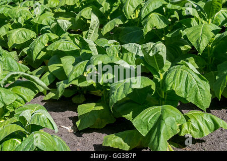 Aztec tobacco / wild tobacco (Nicotiana rustica) plants in field - Stock Photo