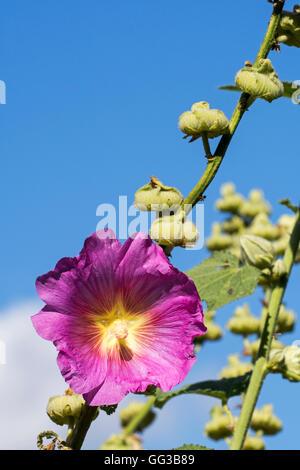 Common hollyhock (Alcea rosea / Althaea rosea) in flower - Stock Photo