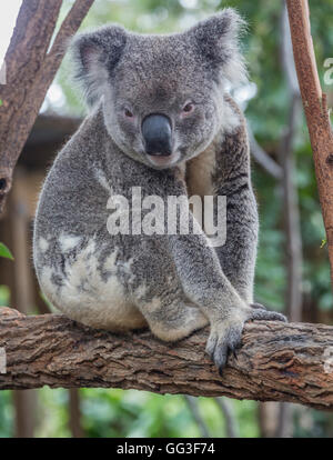 Koala, Phascolarctos cinereus.  The animal is popularly called a koala bear, but is a marsupial, not a bear. - Stock Photo