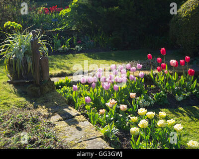 Sunny corner at Chenies Manor sunken garden in spring; statue, backlit pink, mauve, yellow tulips, shadows on path - Stock Photo