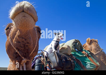 Camel and dog