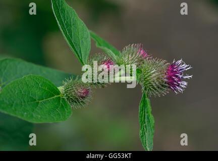 Lesser Burdock flowers - Arctium minus Large Woodland Plant - Stock Photo