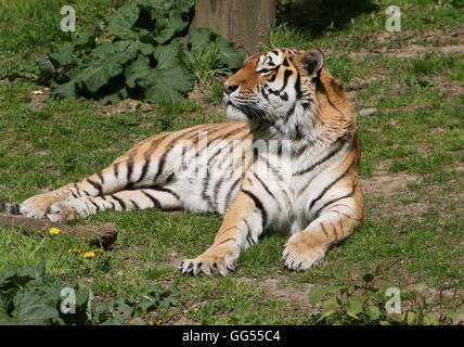 Mature male Siberian or Amur tiger (Panthera tigris altaica) - Stock Photo