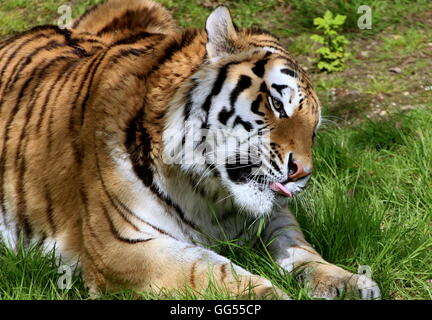 Mature male Siberian or Amur tiger (Panthera tigris altaica) licking his lips - Stock Photo