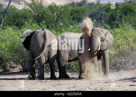 Damaraland Namibia Desert adapted elephants (Loxodonta africana) near Doro Nawas. Elephant dust bathing. - Stock Photo